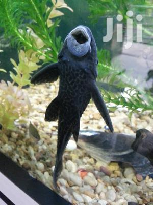 Aqaurium Cleaner Fish | Fish for sale in Kampala