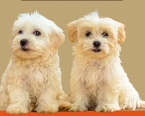 3-6 Month Male Purebred Maltese Shih Tzu | Dogs & Puppies for sale in Kampala