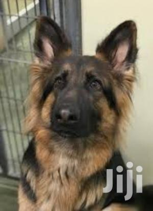 Baby Male Purebred German Shepherd Dog | Dogs & Puppies for sale in Kampala