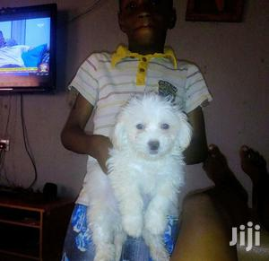 Baby Male Purebred Maltese Shih Tzu | Dogs & Puppies for sale in Kampala