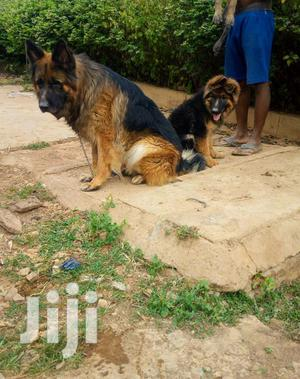 Adult Female Purebred German Shepherd Dog | Dogs & Puppies for sale in Kampala