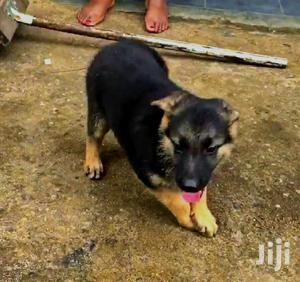 Baby Female Purebred German Shepherd Dog | Dogs & Puppies for sale in Kampala