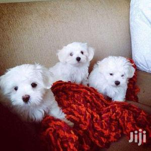 Cute Maltese White Puppies   Dogs & Puppies for sale in Kampala