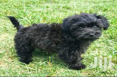 Baby Male Purebred Maltese | Dogs & Puppies for sale in Kampala, Uganda