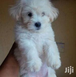 Young Male Purebred Maltese Shih Tzu | Dogs & Puppies for sale in Kampala