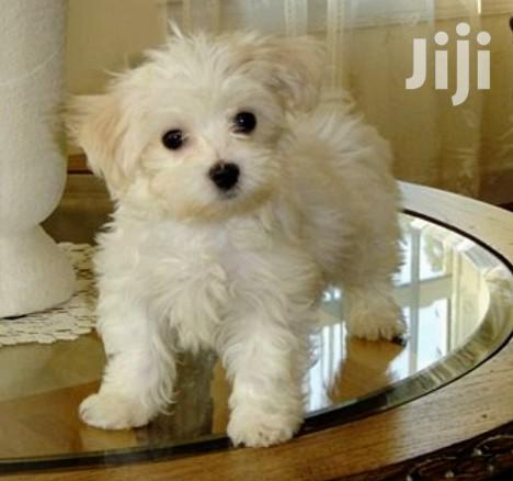 Young Male Purebred Maltese Shih Tzu | Dogs & Puppies for sale in Kampala, Uganda