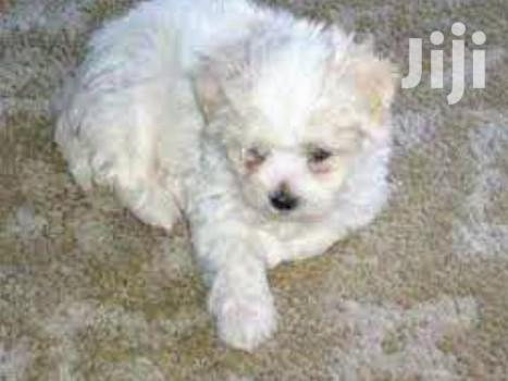 Young Female Purebred Maltese | Dogs & Puppies for sale in Kampala, Uganda