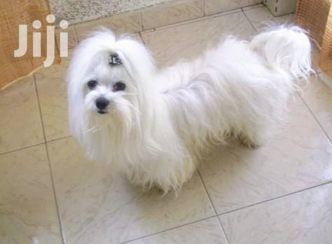 Young Female Purebred Maltese   Dogs & Puppies for sale in Kampala, Uganda