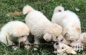 Young Male Purebred Maltese | Dogs & Puppies for sale in Kampala