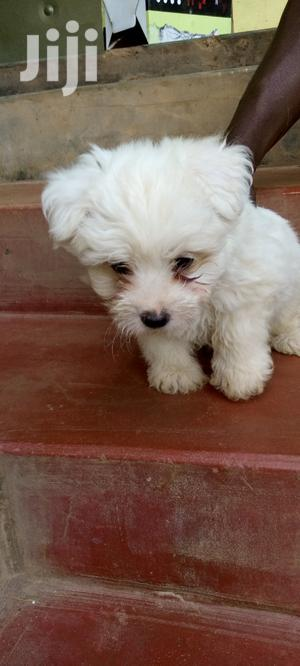1-3 Month Male Purebred Maltese Shih Tzu | Dogs & Puppies for sale in Kampala