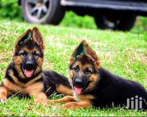 Young Female Purebred German Shepherd Dog | Dogs & Puppies for sale in Kampala