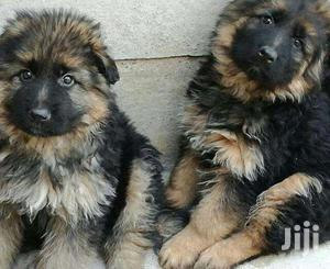 German Sherperd Pure Original Breed Puppies | Dogs & Puppies for sale in Kampala