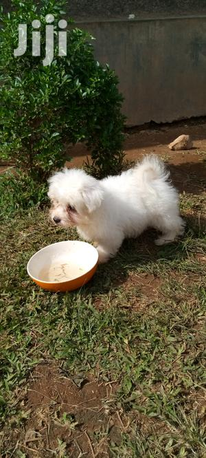 0-1 Month Male Purebred Shih Tzu   Dogs & Puppies for sale in Kampala