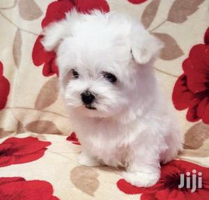 Baby Male Purebred Maltese | Dogs & Puppies for sale in Kampala