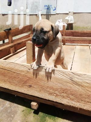 Young Male Purebred Boerboel | Dogs & Puppies for sale in Kampala