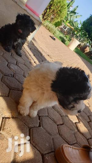Young Female Purebred Maltese | Dogs & Puppies for sale in Kampala