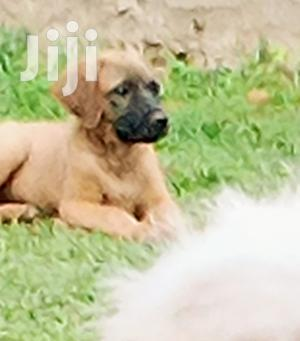 Baby Female Purebred Boerboel | Dogs & Puppies for sale in Kampala
