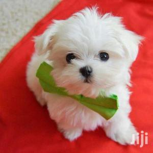 White Quality Maltese Puppies | Dogs & Puppies for sale in Kampala