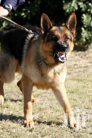 Senior Female Purebred German Shepherd | Dogs & Puppies for sale in Kampala
