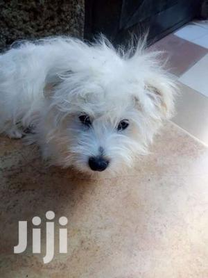 Male Maltese   Dogs & Puppies for sale in Kampala