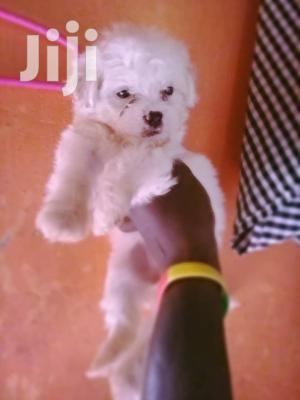 Young Male Purebred Maltese   Dogs & Puppies for sale in Kampala