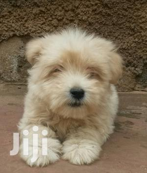 Baby Male Purebred Maltese | Dogs & Puppies for sale in Wakiso