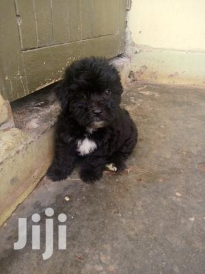 1-3 Month Male Purebred Shih Tzu   Dogs & Puppies for sale in Kalangala