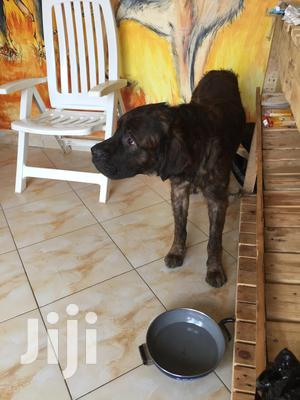 6-12 Month Male Purebred Boerboel | Dogs & Puppies for sale in Kampala