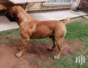 1+ year Male Purebred Boerboel | Dogs & Puppies for sale in Kampala