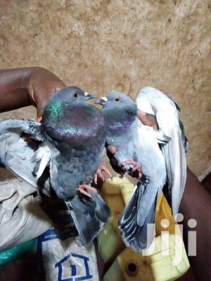 Pegions Birds For Sale | Birds for sale in Wakiso