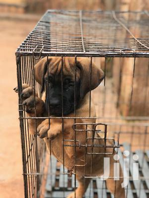 1-3 Month Male Purebred Boerboel | Dogs & Puppies for sale in Kampala