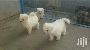 1-3 Month Male Purebred Maltese   Dogs & Puppies for sale in Kampala