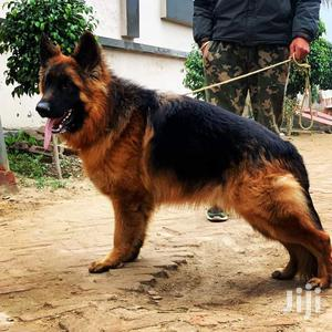 1+ Year Male Purebred German Shepherd | Dogs & Puppies for sale in Kampala
