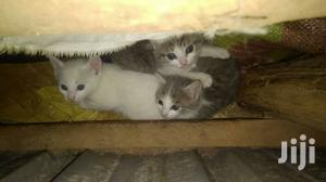 0-1 Month Male Mixed Breed Balinese | Cats & Kittens for sale in Kampala