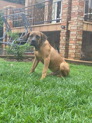 3-6 Month Male Purebred Boerboel | Dogs & Puppies for sale in Kampala