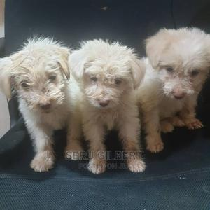 0-1 Month Male Purebred Maltese | Dogs & Puppies for sale in Kampala