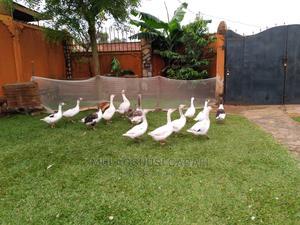 Goose Birds | Birds for sale in Kampala