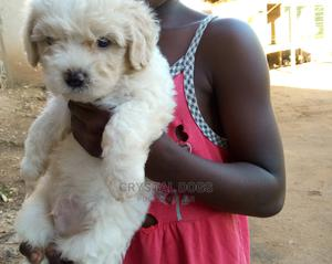 1-3 Month Female Purebred Maltese Shih Tzu   Dogs & Puppies for sale in Kampala