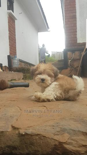 1-3 Month Male Purebred Maltese Shih Tzu   Dogs & Puppies for sale in Kampala