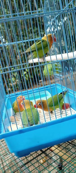 Love Birds on Sell | Birds for sale in Kampala