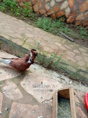 Capuchin on Sale | Birds for sale in Kampala