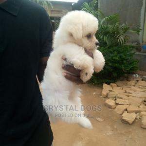 1-3 Month Female Mixed Breed Maltese Shih Tzu   Dogs & Puppies for sale in Kampala