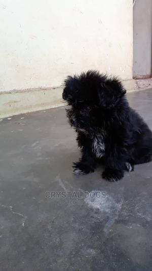 1-3 Month Male Purebred Shih Tzu   Dogs & Puppies for sale in Kampala