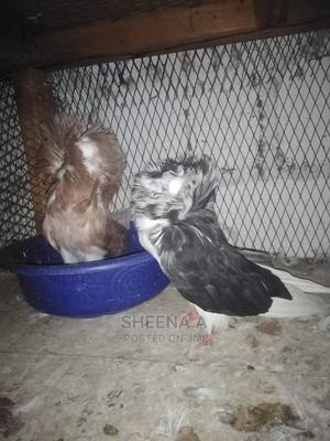 Fantial And Capuchin Pigeons On Sale | Birds for sale in Kampala