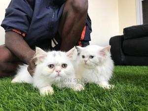 3-6 Month Female Purebred Persian | Cats & Kittens for sale in Kampala