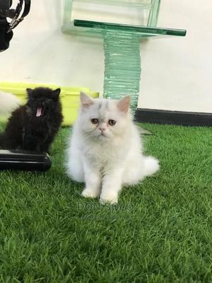 3-6 Month Male Mixed Breed Persian | Cats & Kittens for sale in Kampala