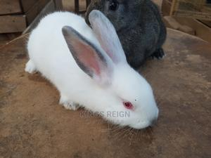 1-3 Month Male Purebred Exotic | Cats & Kittens for sale in Kampala