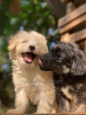1-3 Month Male Purebred Maltese | Dogs & Puppies for sale in Kampala