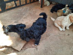 3-6 Month Male Purebred Maltese | Dogs & Puppies for sale in Kampala