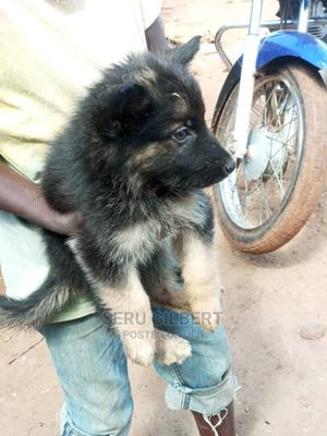 1-3 Month Male Purebred Other | Cats & Kittens for sale in Kampala